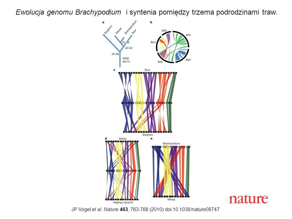 JP Vogel et al. Nature 463, 763-768 (2010) doi:10.1038/nature08747 Ewolucja genomu Brachypodium i syntenia pomiędzy trzema podrodzinami traw.