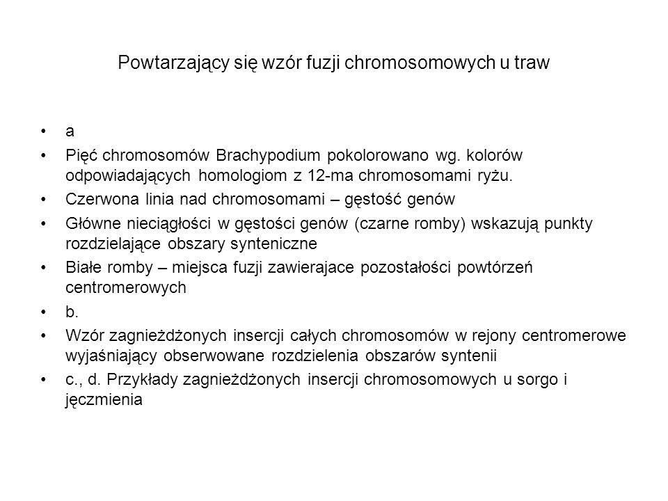 Powtarzający się wzór fuzji chromosomowych u traw a Pięć chromosomów Brachypodium pokolorowano wg. kolorów odpowiadających homologiom z 12-ma chromoso