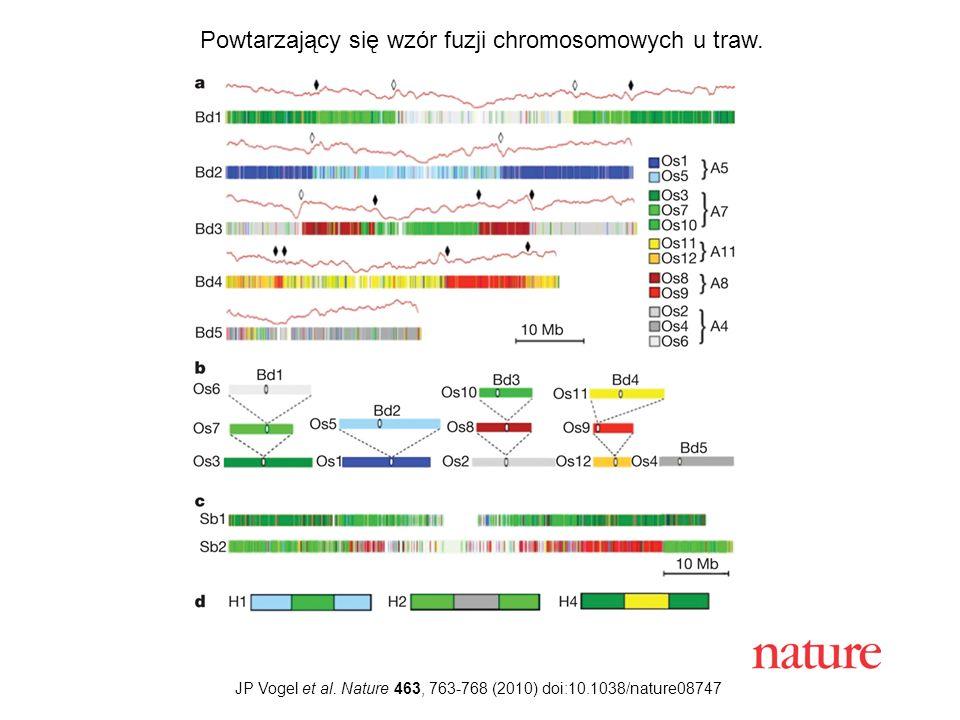 JP Vogel et al. Nature 463, 763-768 (2010) doi:10.1038/nature08747 Powtarzający się wzór fuzji chromosomowych u traw.