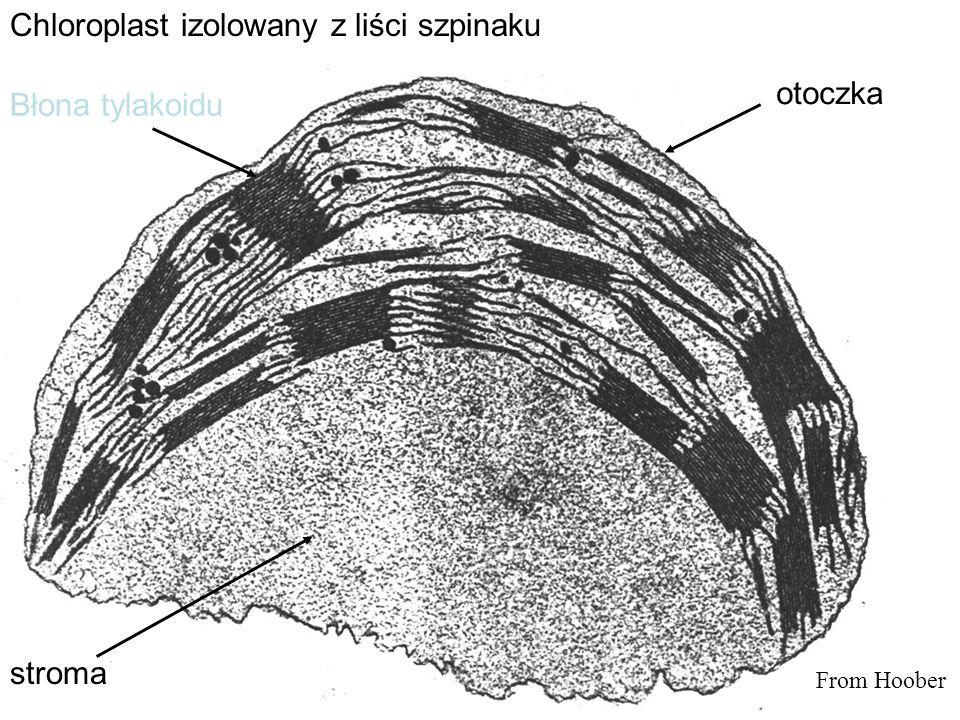 Chloroplast izolowany z liści szpinaku otoczka stroma Błona tylakoidu From Hoober