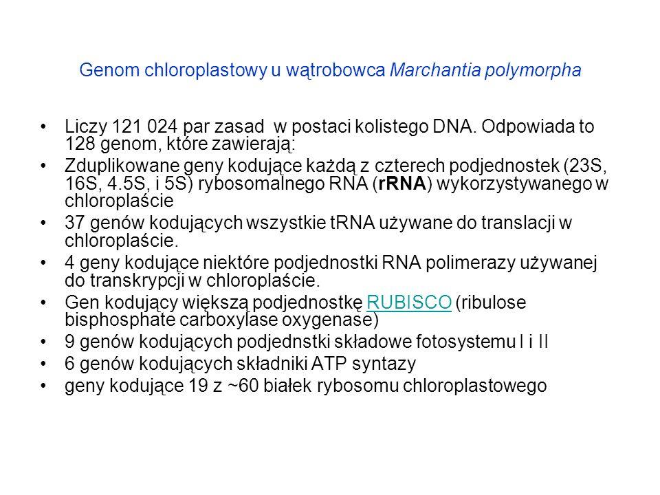 Genom chloroplastowy u wątrobowca Marchantia polymorpha Liczy 121 024 par zasad w postaci kolistego DNA. Odpowiada to 128 genom, które zawierają: Zdup