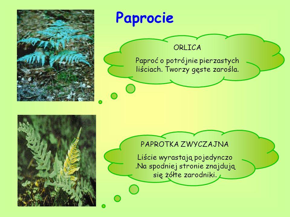 Paprocie PAPROTKA ZWYCZAJNA Liście wyrastają pojedynczo.Na spodniej stronie znajdują się żółte zarodniki. ORLICA Paproć o potrójnie pierzastych liścia