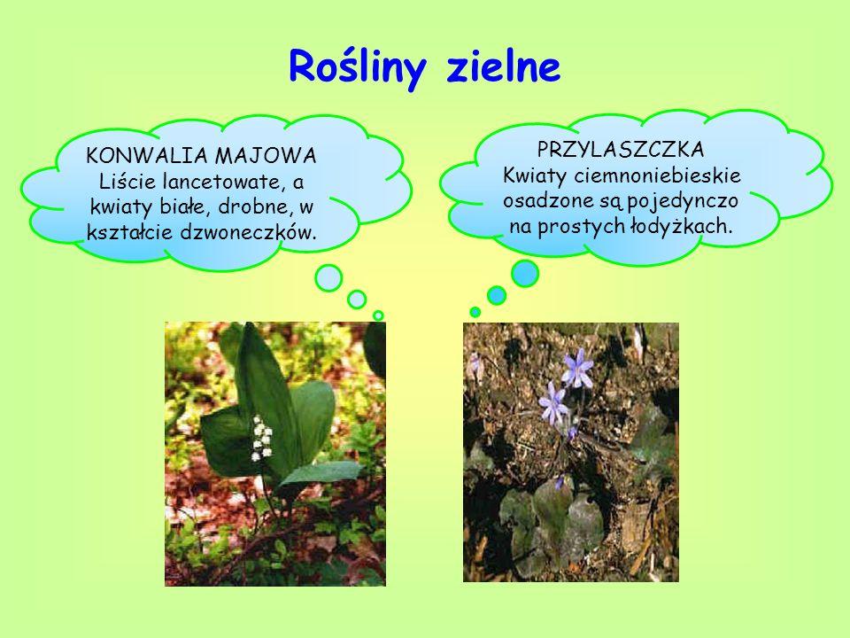 Rośliny zielne KONWALIA MAJOWA Liście lancetowate, a kwiaty białe, drobne, w kształcie dzwoneczków. PRZYLASZCZKA Kwiaty ciemnoniebieskie osadzone są p