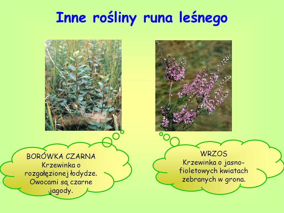 Inne rośliny runa leśnego BORÓWKA CZARNA Krzewinka o rozgałęzionej łodydze. Owocami są czarne jagody. WRZOS Krzewinka o jasno- fioletowych kwiatach ze