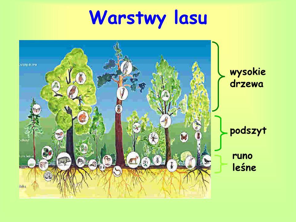 Wysokie drzewa Najwyższą warstwę lasu tworzą wysokie drzewa: dęby, buki, brzozy, sosny, jodły, modrzewie i świerki.