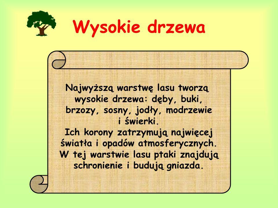 Wysokie drzewa Najwyższą warstwę lasu tworzą wysokie drzewa: dęby, buki, brzozy, sosny, jodły, modrzewie i świerki. Ich korony zatrzymują najwięcej św