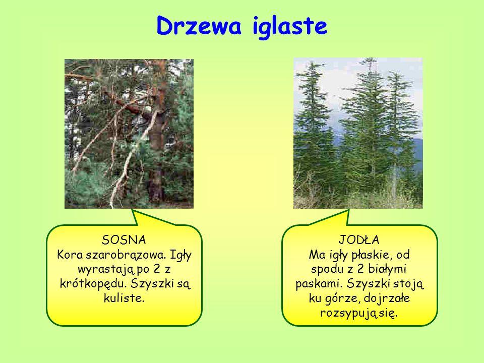 Drzewa iglaste SOSNA Kora szarobrązowa. Igły wyrastają po 2 z krótkopędu. Szyszki są kuliste. JODŁA Ma igły płaskie, od spodu z 2 białymi paskami. Szy