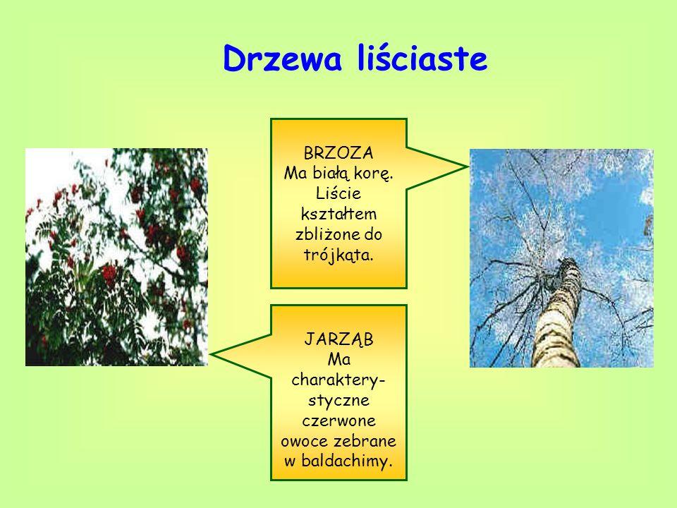 Drzewa liściaste BRZOZA Ma białą korę. Liście kształtem zbliżone do trójkąta. JARZĄB Ma charaktery- styczne czerwone owoce zebrane w baldachimy.