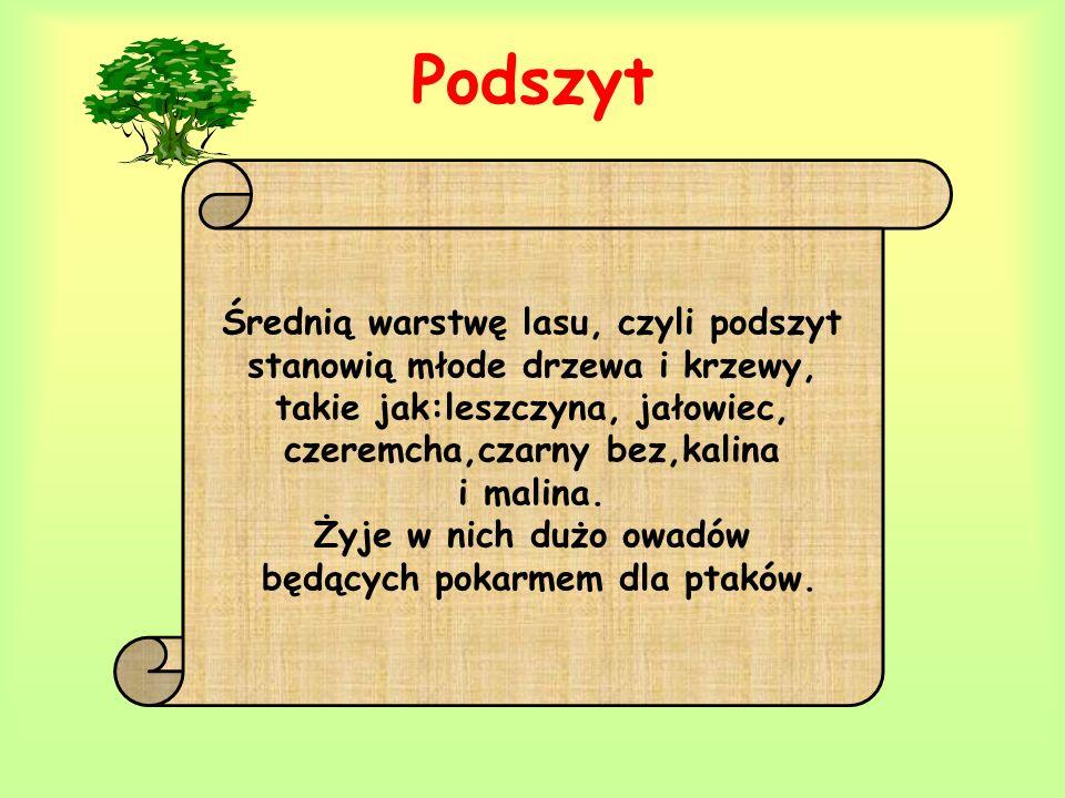 Podszyt Średnią warstwę lasu, czyli podszyt stanowią młode drzewa i krzewy, takie jak:leszczyna, jałowiec, czeremcha,czarny bez,kalina i malina. Żyje