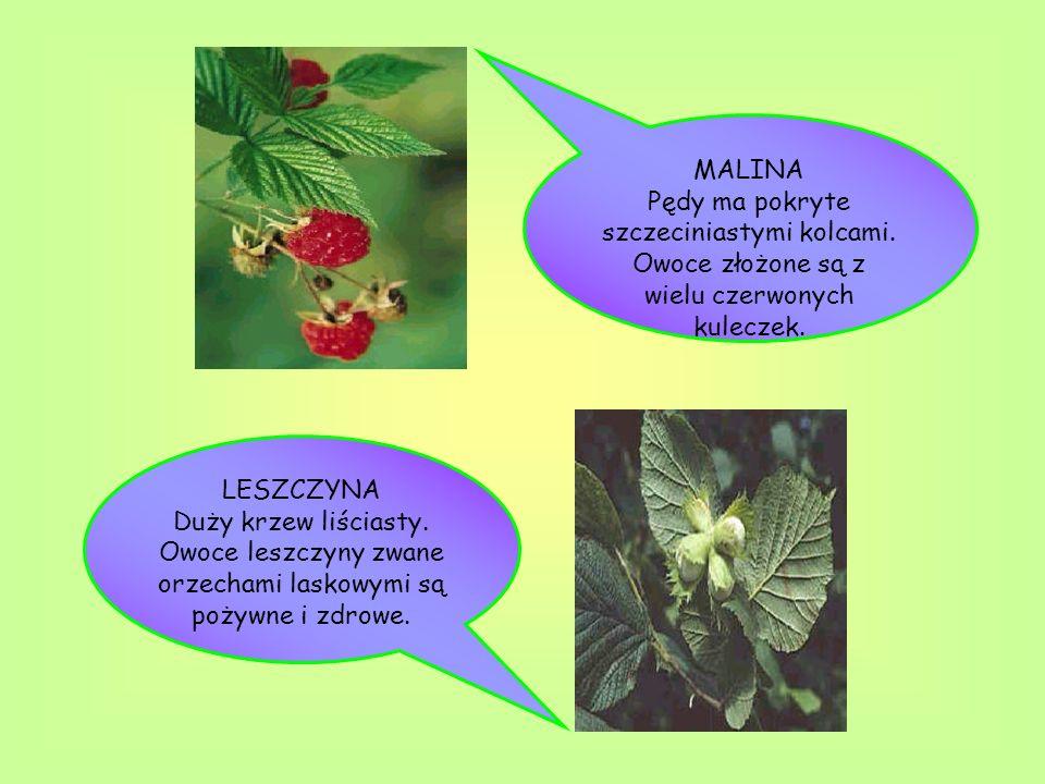 MALINA Pędy ma pokryte szczeciniastymi kolcami. Owoce złożone są z wielu czerwonych kuleczek. LESZCZYNA Duży krzew liściasty. Owoce leszczyny zwane or