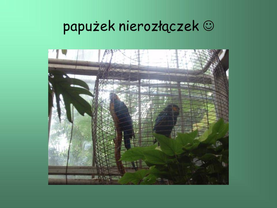 papużek nierozłączek