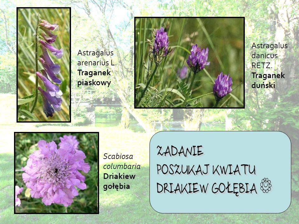 Astragalus arenarius L.Traganek piaskowy Astragalus danicus RETZ.