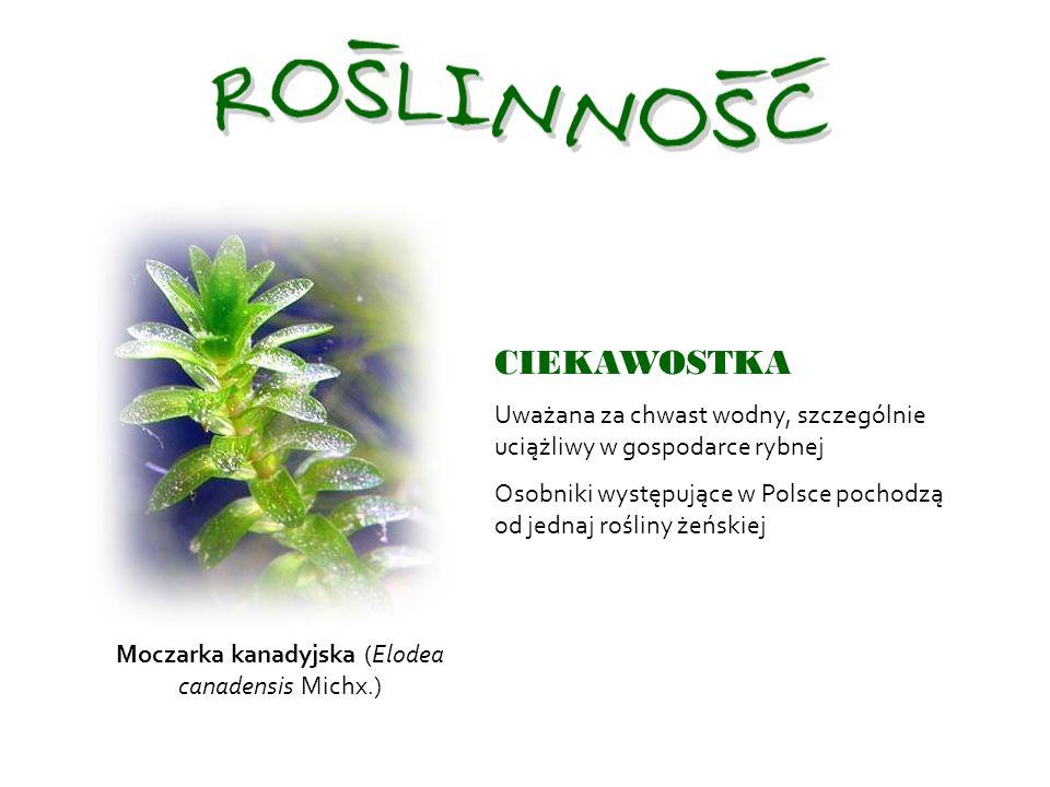 Moczarka kanadyjska (Elodea canadensis Michx.) CIEKAWOSTKA Uważana za chwast wodny, szczególnie uciążliwy w gospodarce rybnej Osobniki występujące w Polsce pochodzą od jednaj rośliny żeńskiej