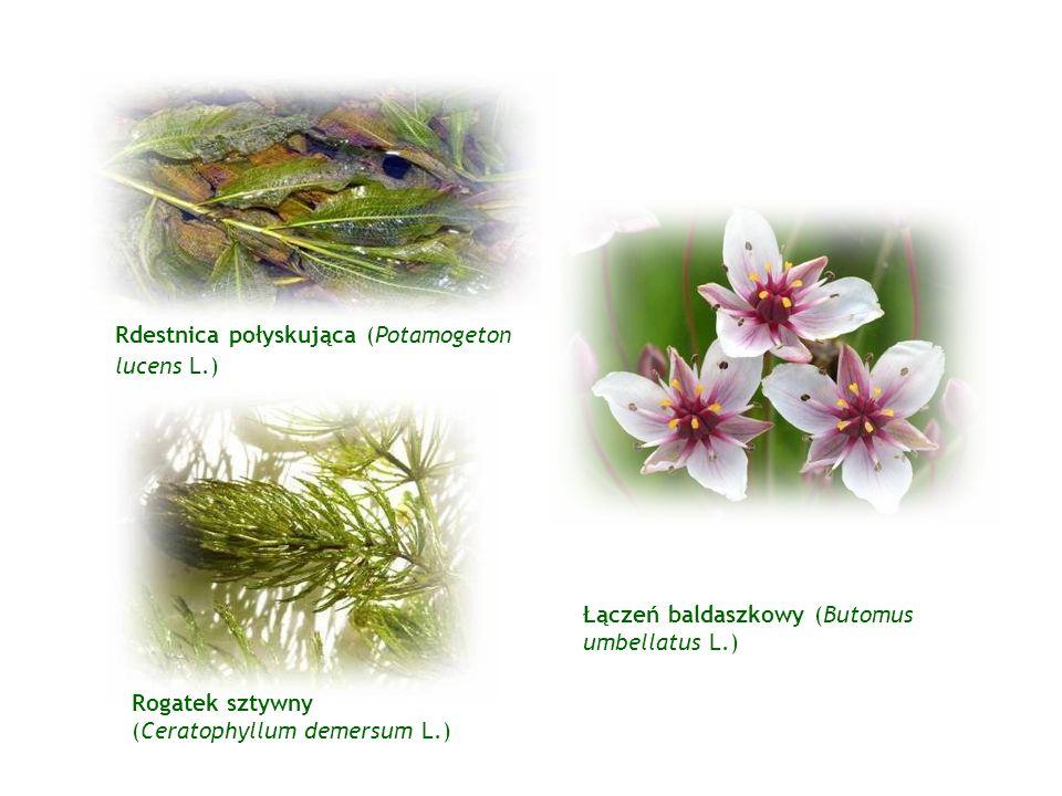 Rdestnica połyskująca (Potamogeton lucens L.) Rogatek sztywny (Ceratophyllum demersum L.) Łączeń baldaszkowy (Butomus umbellatus L.)