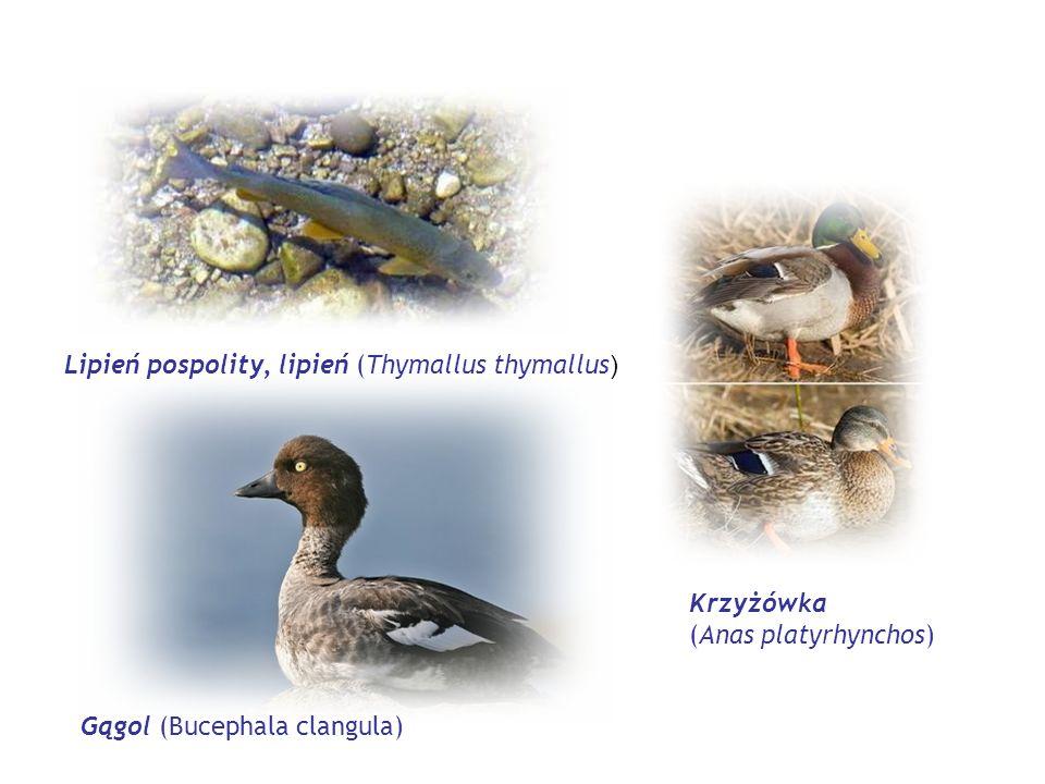 Lipień pospolity, lipień (Thymallus thymallus ) Gągol (Bucephala clangula) Krzyżówka (Anas platyrhynchos)