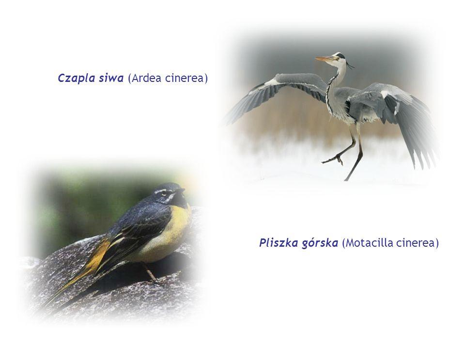 Czapla siwa (Ardea cinerea) Pliszka górska (Motacilla cinerea)