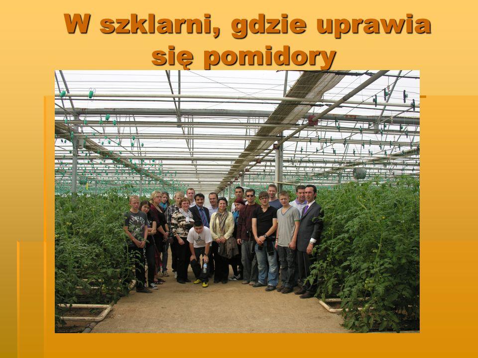 W szklarni, gdzie uprawia się pomidory W szklarni, gdzie uprawia się pomidory