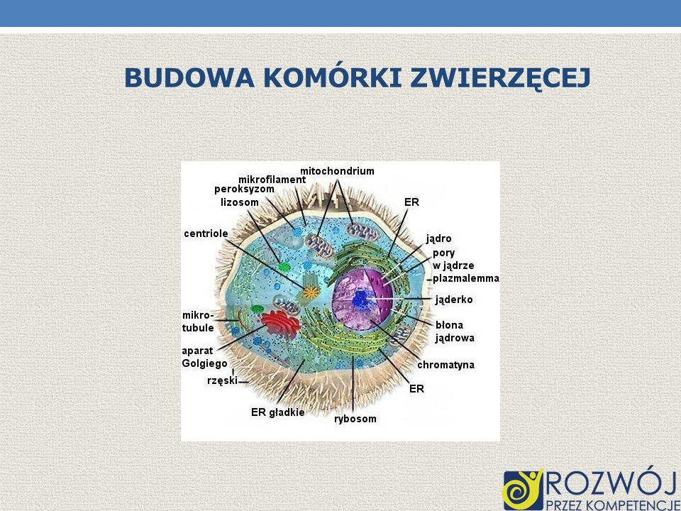FUNKCJE ELEMENTÓW KOMÓRKI Cytoplazma jest półpłynną, galaretowatą, przezroczystą substancją, z wyglądu podobną do surowego białka kurzego.