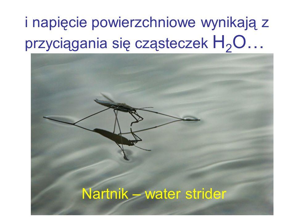 i napięcie powierzchniowe wynikają z przyciągania się cząsteczek H 2 O… Nartnik – water strider