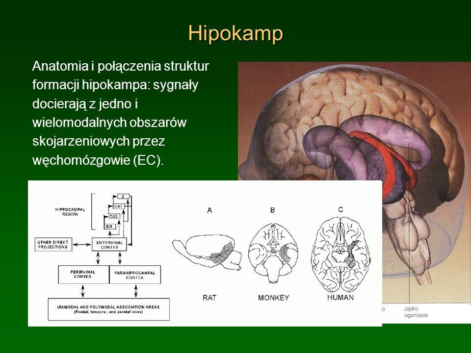 Hipokamp Anatomia i połączenia struktur formacji hipokampa: sygnały docierają z jedno i wielomodalnych obszarów skojarzeniowych przez węchomózgowie (E