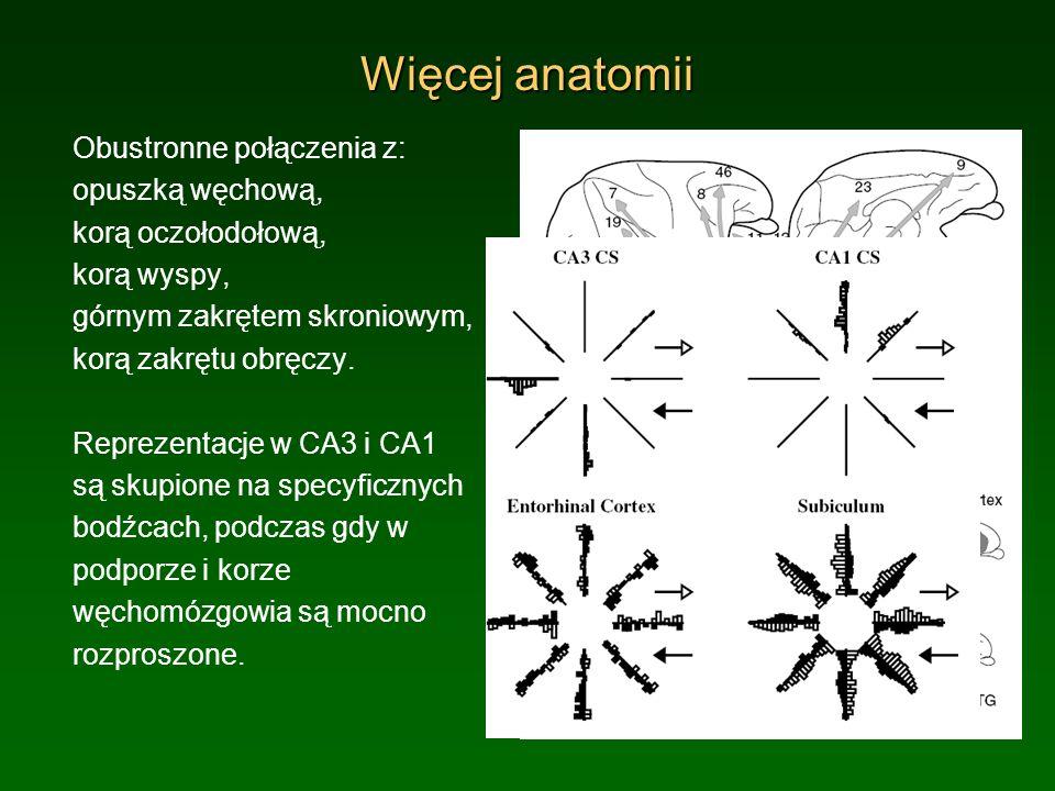 Więcej anatomii Obustronne połączenia z: opuszką węchową, korą oczołodołową, korą wyspy, górnym zakrętem skroniowym, korą zakrętu obręczy. Reprezentac