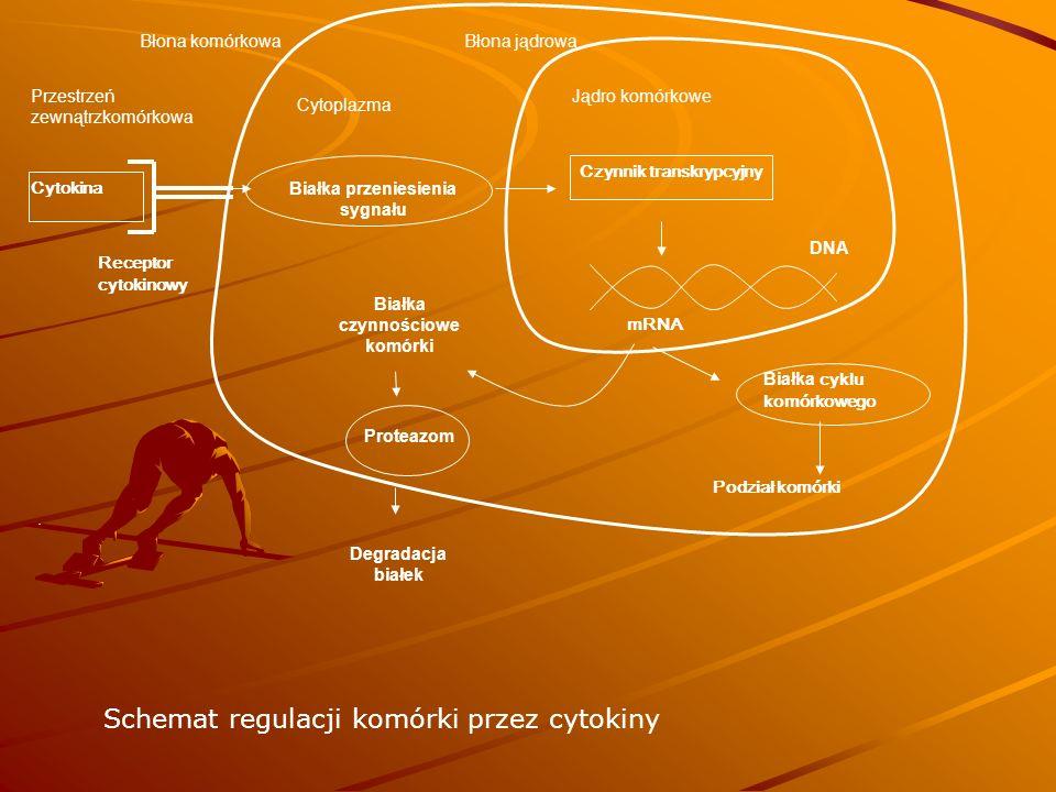 Cytokina Receptor cytokinowy Białka przeniesienia sygnału mRNA Białka czynnościowe komórki Białka cyklu komórkowego Podział komórki Czynnik transkrypcyjny Przestrzeń zewnątrzkomórkowa Cytoplazma Jądro komórkowe.