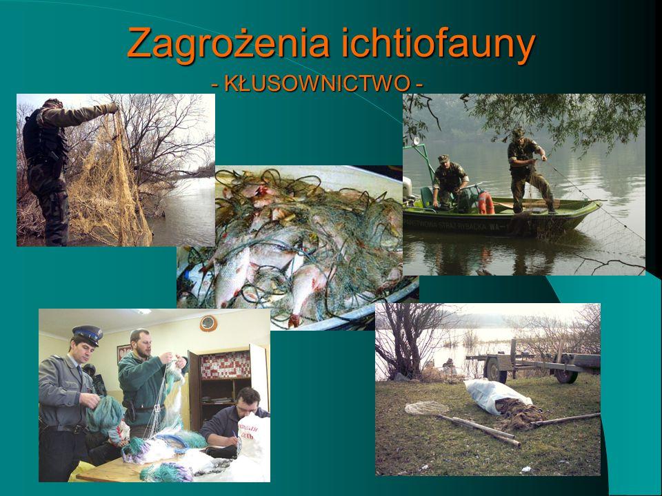 Zagrożenia ichtiofauny Bardzo duża presja wędkarska i spożycie ryb w Polsce. Regulacja koryta rzeki – projekt drogi wodnej W-Z. Kłusownictwo – szacuje