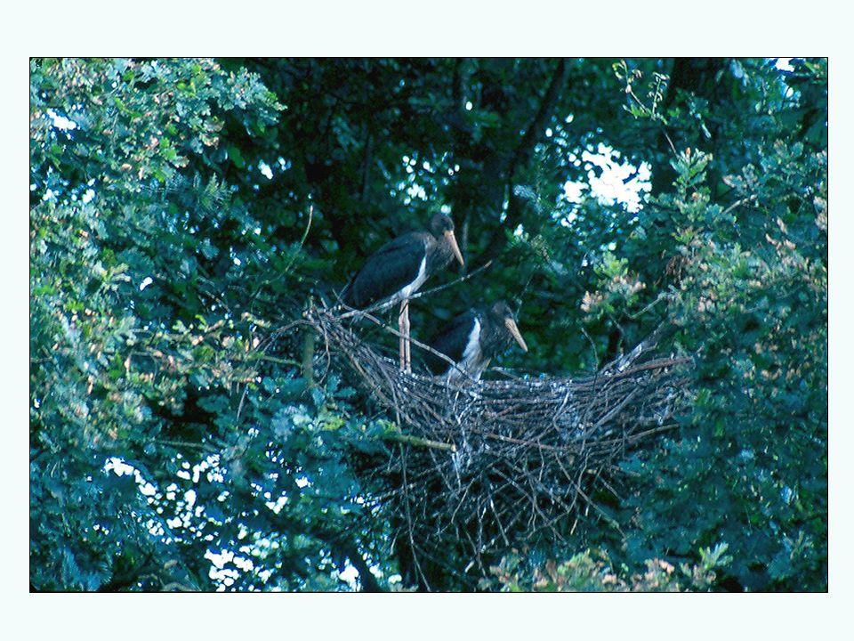 Ochrona strefowa ptaków W dolinie Bugu istnieje 8 stref wokół gniazd orlika krzykliwego i bociana czarnego.