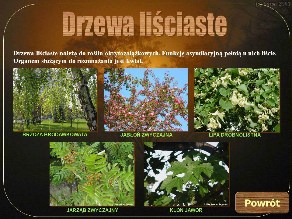 Drzewa liściaste należą do roślin okrytozalążkowych. Funkcję asymilacyjną pełnią u nich liście. Organem służącym do rozmnażania jest kwiat. KLON JAWOR