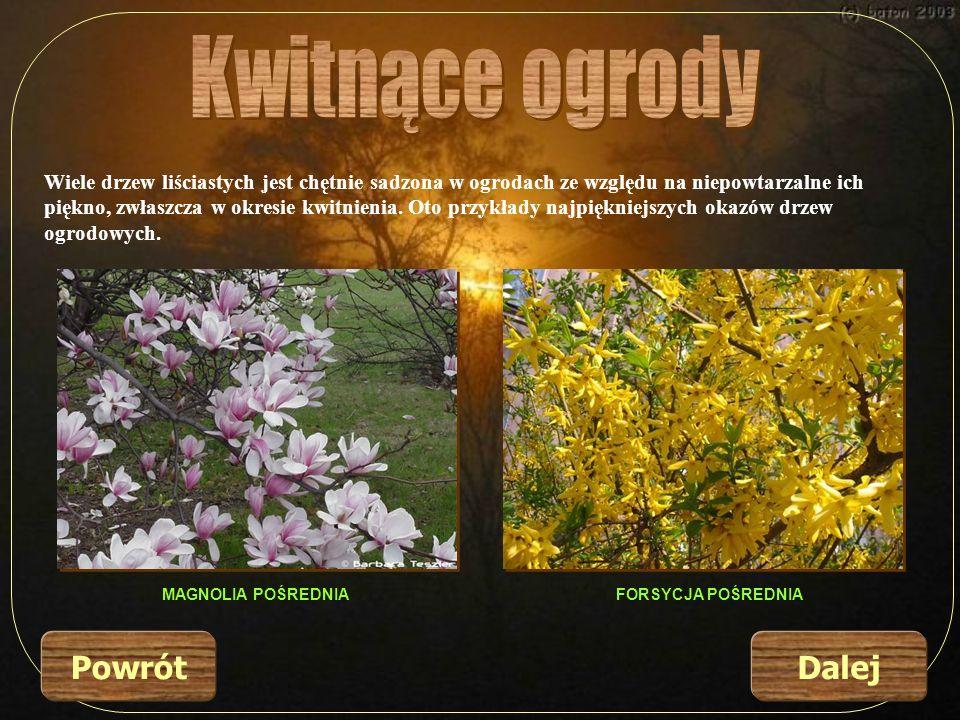 Wiele drzew liściastych jest chętnie sadzona w ogrodach ze względu na niepowtarzalne ich piękno, zwłaszcza w okresie kwitnienia. Oto przykłady najpięk