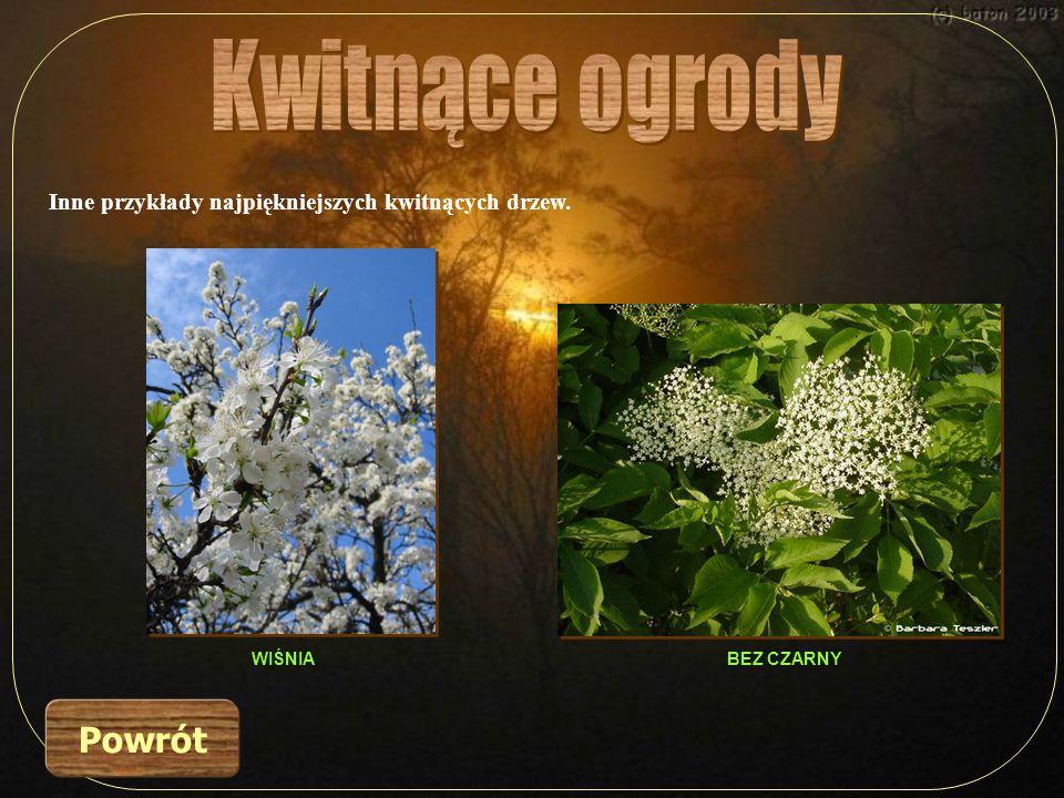 Inne przykłady najpiękniejszych kwitnących drzew. Powrót BEZ CZARNYWIŚNIA