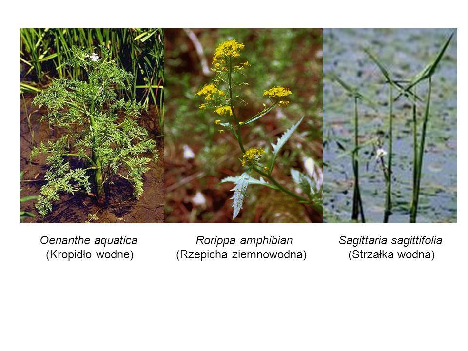 Oenanthe aquatica (Kropidło wodne) Rorippa amphibian (Rzepicha ziemnowodna) Sagittaria sagittifolia (Strzałka wodna)