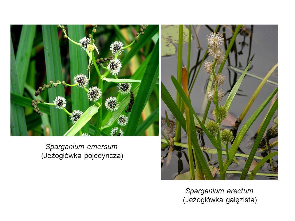 Sparganium emersum (Jeżogłówka pojedyncza) Sparganium erectum (Jeżogłówka gałęzista)