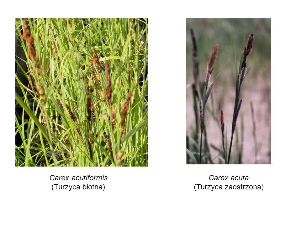 Carex acutiformis (Turzyca błotna) Carex acuta (Turzyca zaostrzona)