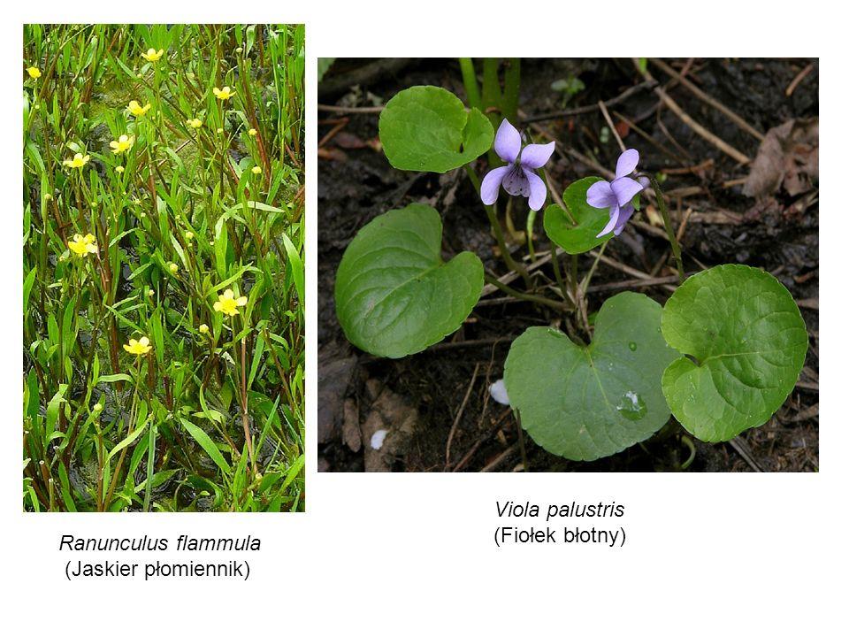 Ranunculus flammula (Jaskier płomiennik) Viola palustris (Fiołek błotny)