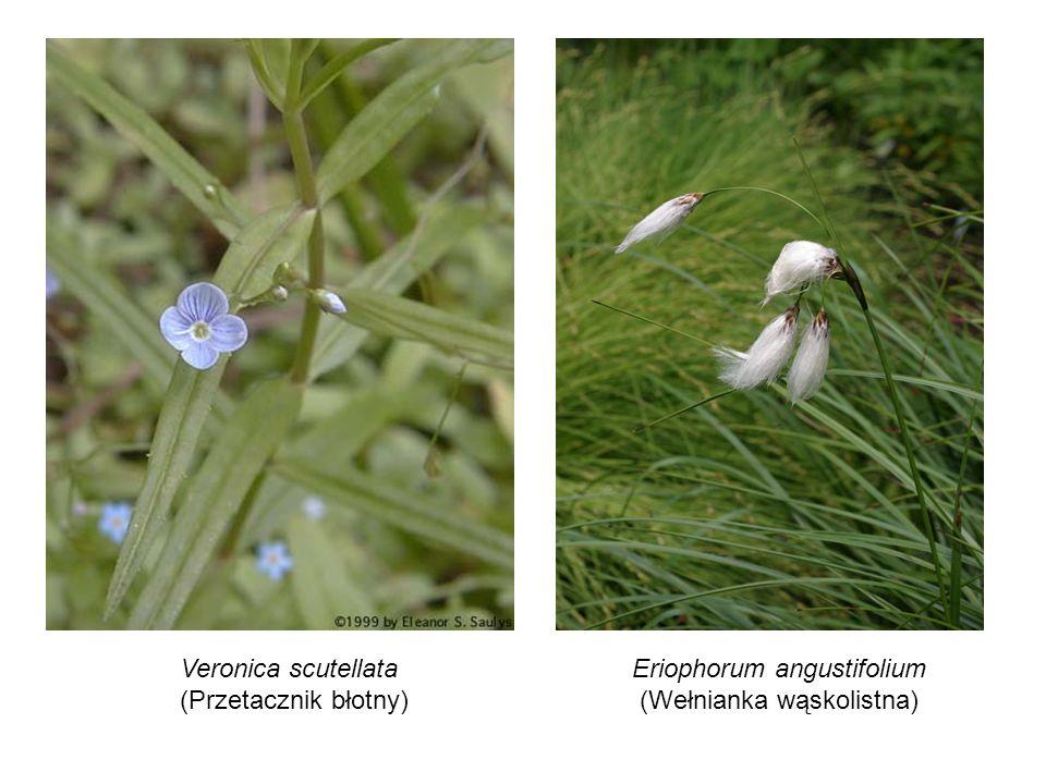 Veronica scutellata (Przetacznik błotny) Eriophorum angustifolium (Wełnianka wąskolistna)