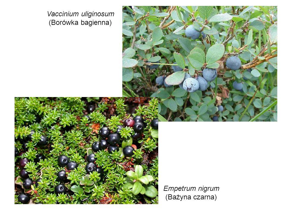 Vaccinium uliginosum (Borówka bagienna) Empetrum nigrum (Bażyna czarna)
