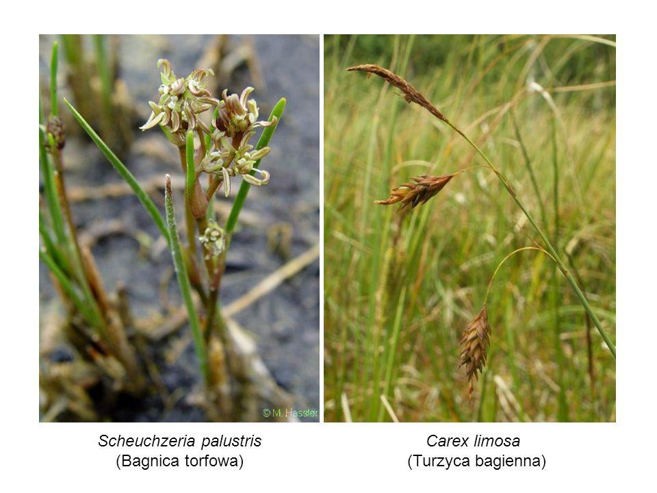Scheuchzeria palustris (Bagnica torfowa) Carex limosa (Turzyca bagienna)