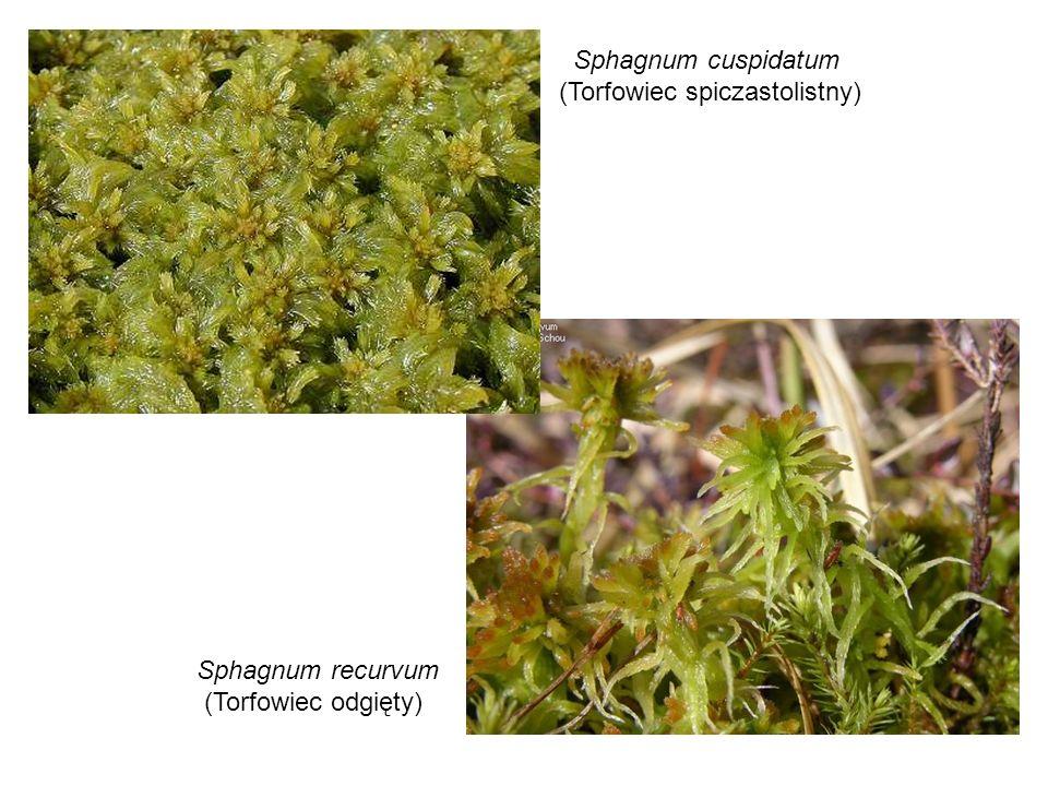 Sphagnum cuspidatum (Torfowiec spiczastolistny) Sphagnum recurvum (Torfowiec odgięty)