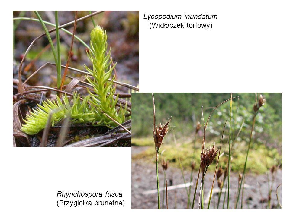 Lycopodium inundatum (Widłaczek torfowy) Rhynchospora fusca (Przygiełka brunatna)