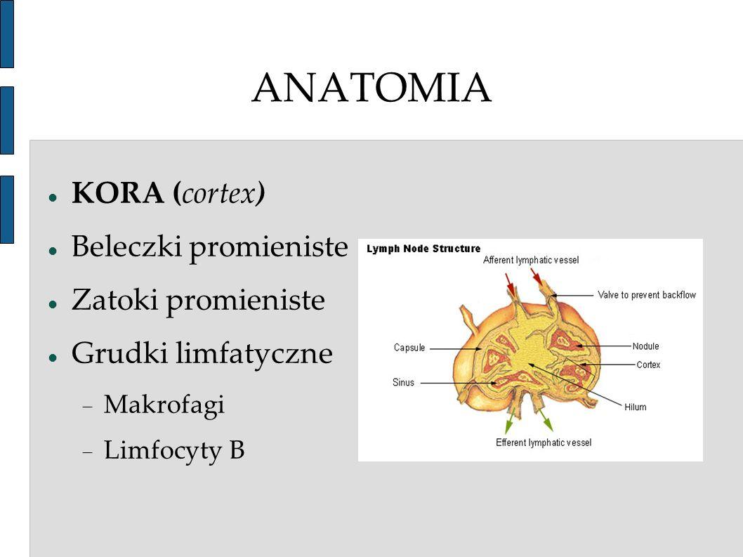 ANATOMIA KORA (cortex) Beleczki promieniste Zatoki promieniste Grudki limfatyczne Makrofagi Limfocyty B