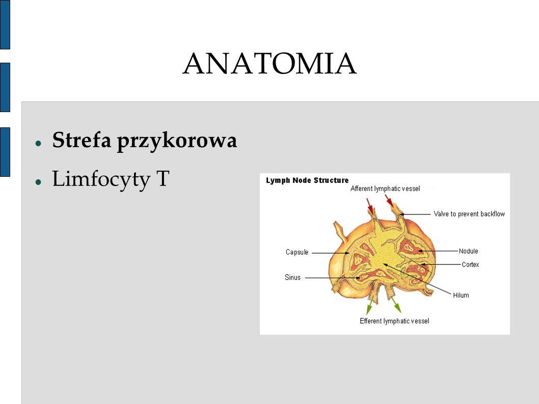 ANATOMIA Strefa przykorowa Limfocyty T