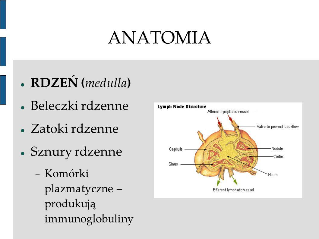 ANATOMIA RDZEŃ (medulla) Beleczki rdzenne Zatoki rdzenne Sznury rdzenne Komórki plazmatyczne – produkują immunoglobuliny