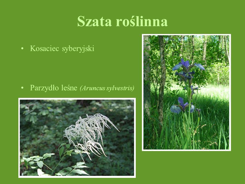 Szata roślinna Kosaciec syberyjski Parzydło leśne (Aruncus sylvestris)