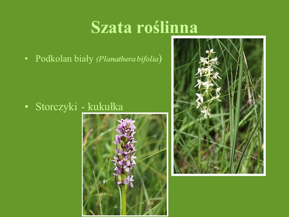 Szata roślinna Podkolan biały (Planathera bifolia ) Storczyki - kukułka