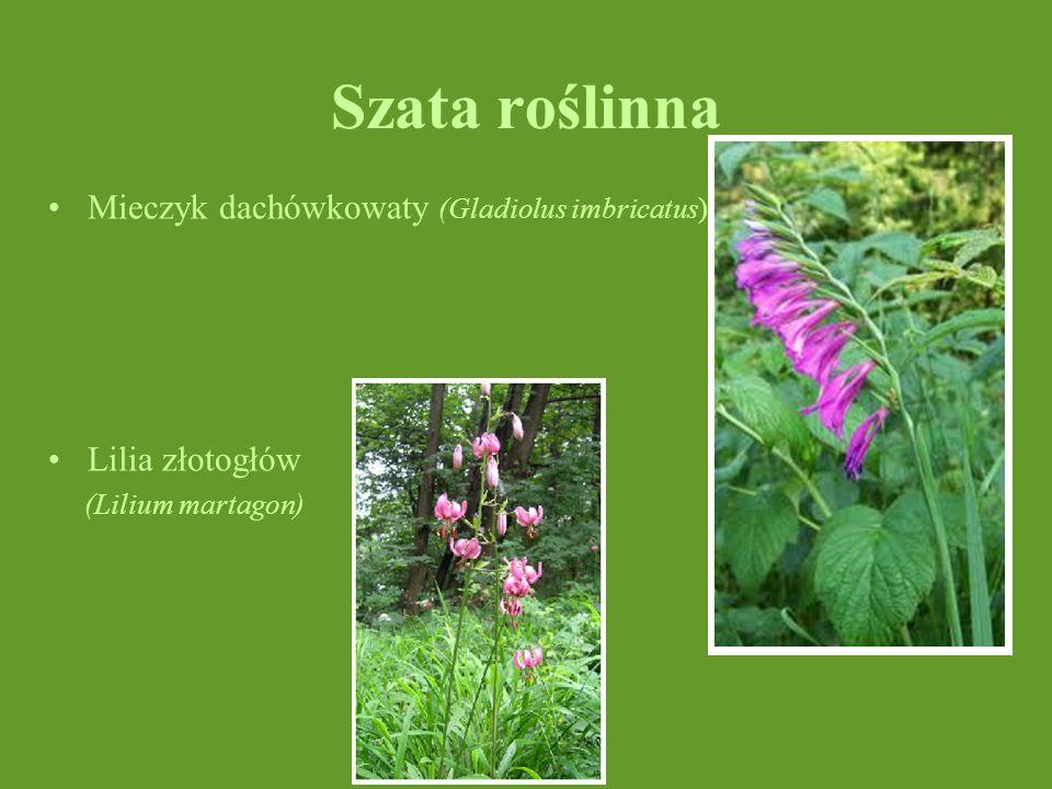 Szata roślinna Mieczyk dachówkowaty (Gladiolus imbricatus) Lilia złotogłów (Lilium martagon)