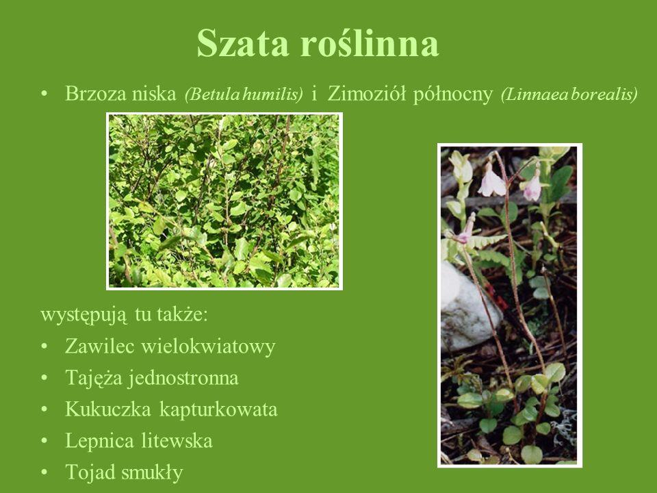 Szata roślinna Brzoza niska (Betula humilis) i Zimoziół północny (Linnaea borealis) występują tu także: Zawilec wielokwiatowy Tajęża jednostronna Kuku