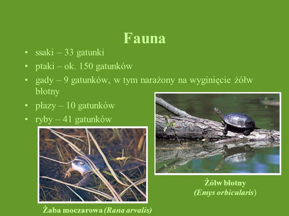 Fauna ssaki – 33 gatunki ptaki – ok. 150 gatunków gady – 9 gatunków, w tym narażony na wyginięcie żółw błotny płazy – 10 gatunków ryby – 41 gatunków Ż
