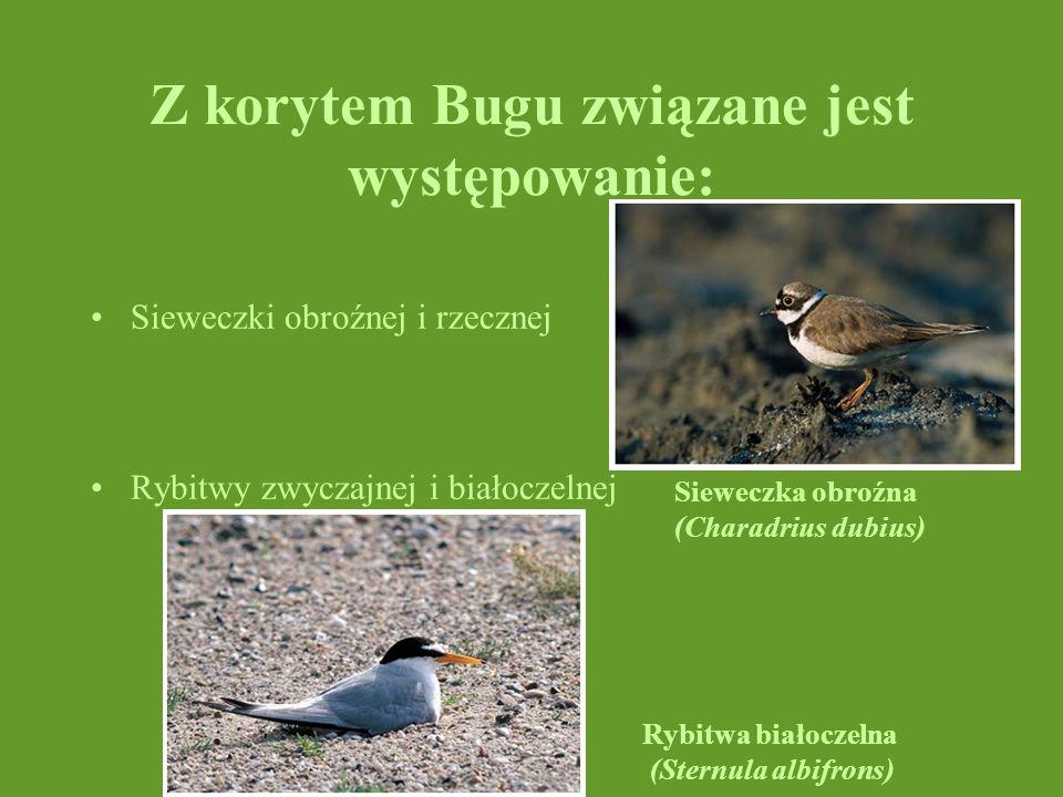 Z korytem Bugu związane jest występowanie: Sieweczki obroźnej i rzecznej Rybitwy zwyczajnej i białoczelnej Rybitwa białoczelna (Sternula albifrons) Si