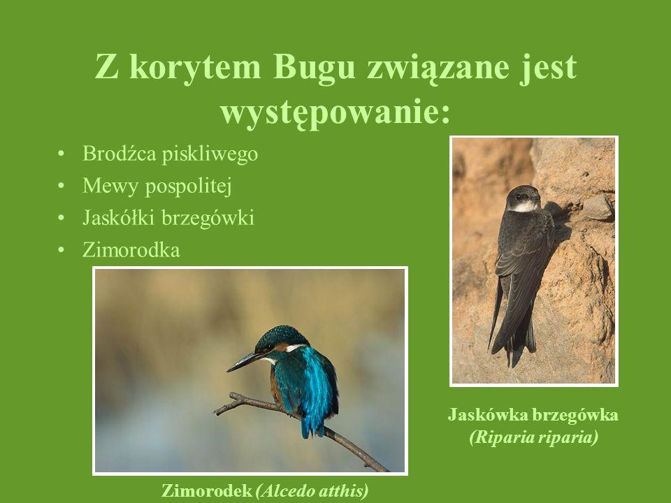 Z korytem Bugu związane jest występowanie: Brodźca piskliwego Mewy pospolitej Jaskółki brzegówki Zimorodka Jaskówka brzegówka (Riparia riparia) Zimoro